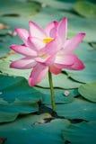 Näckros Lotus Royaltyfri Foto