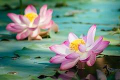 Näckros Lotus Royaltyfria Foton