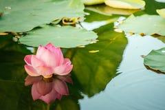 Näckros Lotus Royaltyfria Bilder