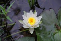 Näckros (Nymphaeaceae) Royaltyfri Fotografi