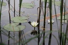 Näckros (Nymphaeaceae) Arkivfoto