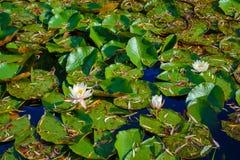 Näckros på sjön Arkivfoton
