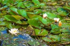 Näckros på sjön Royaltyfri Foto