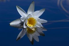 Näckros reflekterad i blått vatten royaltyfri bild