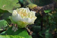 Näckros som blommar i damm Arkivbilder