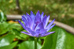Näckros som blommar i dammet Royaltyfria Bilder