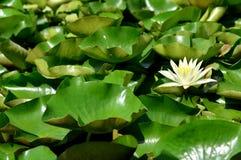 Näckros som klickas från Shikara arkivfoton
