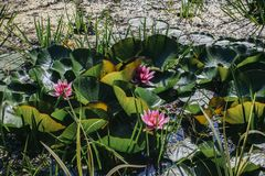 Näckros tre med rosa färger blommar i dammet Arkivbilder