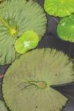 Näckrosblad i dammet Royaltyfri Foto