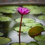 Näckrosblommablomning. Tropisk växtlotusblomma Royaltyfri Fotografi