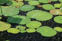 Näckrossidor i regndroppar Fotografering för Bildbyråer
