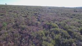 Nähern zu den männlichen Rotwild in der Glattheit stock footage