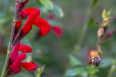 Nähernde Biene Stockbilder