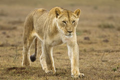 Nähernde junge Löwin Lizenzfreie Stockfotografie