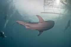Nähernde Sporttaucher des Walhainahen hohen Unterwasserporträts lizenzfreie stockbilder