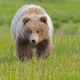 Näherndes Bärenjunges Stockfotos