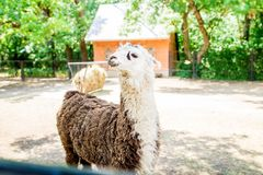 När djur poserar lama Lynne av dagen arkivbild