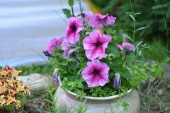 När du blommar trädgården blommar petunior med suddig grön bakgrund Royaltyfria Bilder