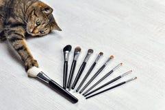 När du charmar den Bengal katten väljer hans favorit- borste för smink royaltyfria bilder