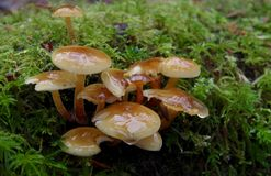 När du glittrar klungan av mycket små champinjoner som växer från mossa, täckte journalen Royaltyfri Fotografi