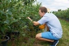 När du ler den unga mannen väljer frukter på ett blåbärfält tonat arkivfoto