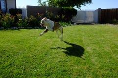 När hundkapplöpningen lär, kan de flyga Arkivfoto