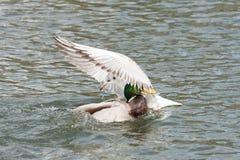 När två fåglar kolliderar Royaltyfria Foton