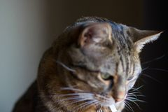 Nära ärlig sikt av strimmig kattkatten som ut ser fönsterstillhet och den kopplar av fotografering för bildbyråer