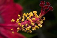 Nära övre bild av den röda blomman för hibiskus arkivfoton