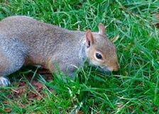 Nära övre bild av en gulliga Grey Squirrel i gräset fotografering för bildbyråer