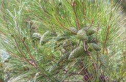 Nära övre bild av Pinuspumilaen med gröna kottar arkivbilder