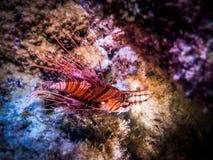 Nära övre blick för Lionfish Marin- liv Arkivfoton