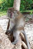 Nära övre för apa Royaltyfri Bild