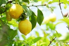 Nära övre för citron fotografering för bildbyråer