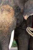 Nära övre för elefant Arkivbild