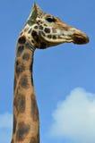 Nära övre för giraff Fotografering för Bildbyråer