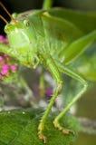 Nära övre för gräshoppa arkivbild