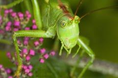 Nära övre för gräshoppa fotografering för bildbyråer