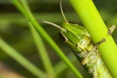 Nära övre för gräshoppa royaltyfria bilder