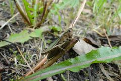 Nära övre för gräshoppa - du kan se detaljer royaltyfri foto