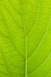 Nära övre för grön leaf Royaltyfria Bilder