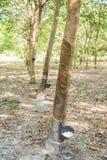 Nära övre för gummiträd Royaltyfri Bild