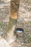 Nära övre för gummiträd och för kopp Fotografering för Bildbyråer