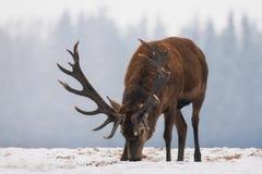 Nära övre för hjortar Enkla betande vuxna nobla hjortar med stora härliga horn på snöig fält på skogbakgrund Ensam älg royaltyfri bild
