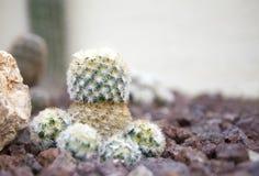 Nära övre för kaktus Arkivbild