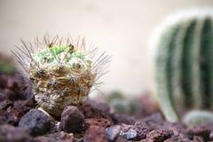 Nära övre för kaktus Royaltyfri Fotografi