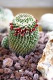 Nära övre för kaktus Royaltyfri Foto
