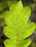 Nära övre för Leaf Royaltyfri Bild