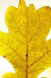Nära övre för Leaf Arkivbild