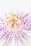 Nära övre för passionsblomma Royaltyfri Fotografi